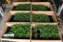 La Guardia Civil investiga en Montoro a una persona e interviene más de 210 plantas de marihuana