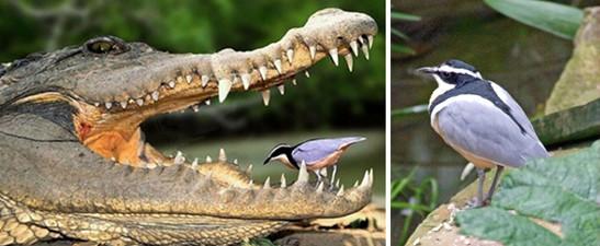 El dentista del cocodrilo