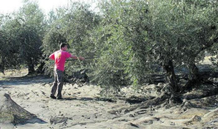 Autorizada la fumigación aérea contra la mosca del olivo