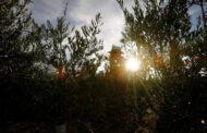 El 70 % del olivar español no cubre costes con el actual precio del aceite