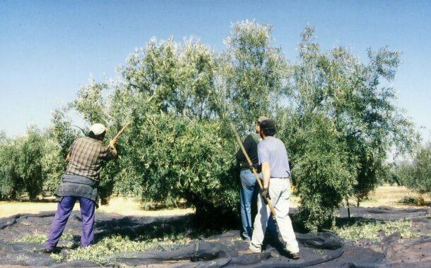 Recomendaciones ante el inicio de la campaña olivarera