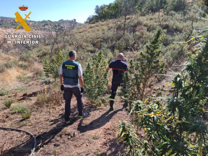 La Guardia Civil desmantela una plantación de marihuana en Montoro y detiene a una persona