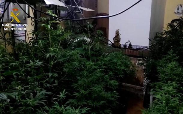 La Guardia Civil con la colaboración de la Policía Local de Fernán Núñez desmantela una plantación de marihuana e investiga a una persona