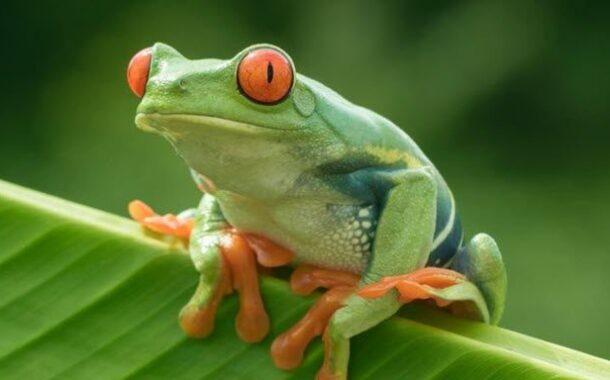 Cu, Cu, cantaba la rana