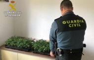 La Guardia Civil de Santaella investiga a un vecino de la localidad al que sorprendieron portando doscientas ocho plantas de marihuana